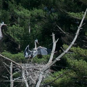 Bruce Frisch, Blue Herons Alighting On Nest 2013
