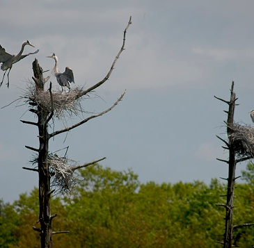 Bruce Frisch, Heron Coming In For A Landing 2013