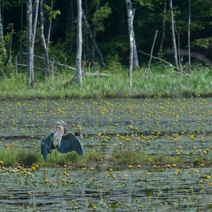 Bruce Frisch, Heron Feeding Among Bull Head Lilies 2013